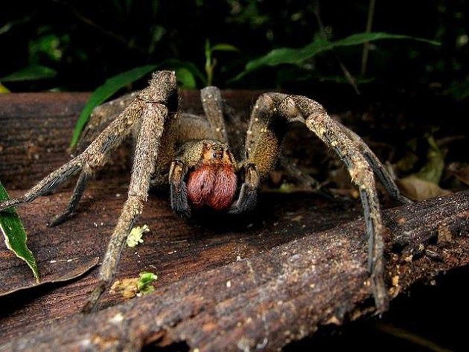Dangerous spiders - Phoneutria sp. imagen de internet