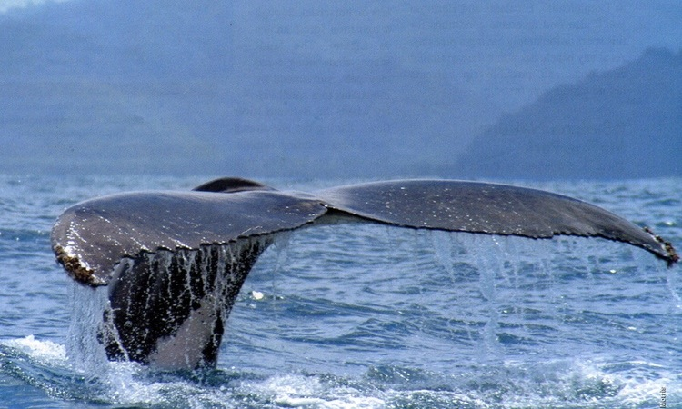 whales-tail-costa-ballena