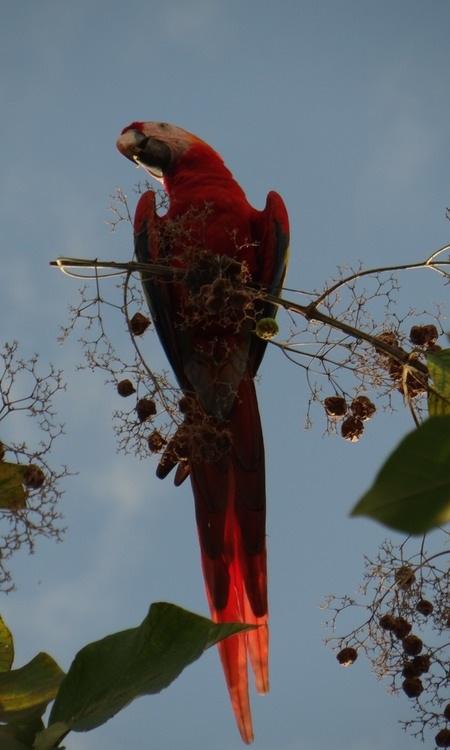 ara-macaw-1