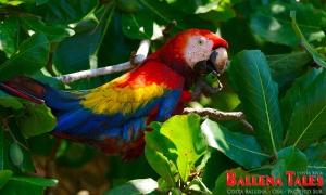 thumbs_scarlet-macaw-marco-gutierrez-1