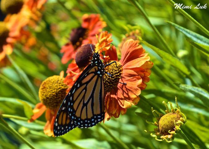 butterfly monarch flowers Langley Canada Mimi Luk15