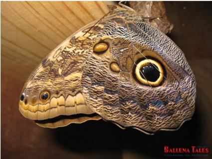 mariposa-buho