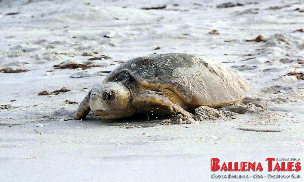 Turtle-Playa-Tortuga