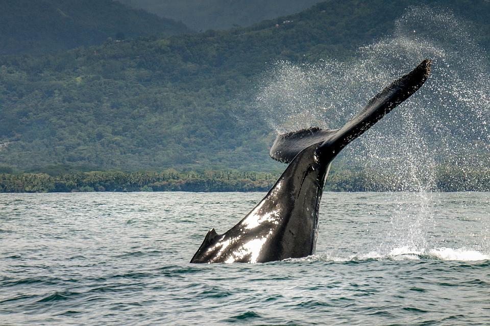 Tours-Whale-Watching-Fluke-Crsital Ballena, Uvita Hotels, birders paradise