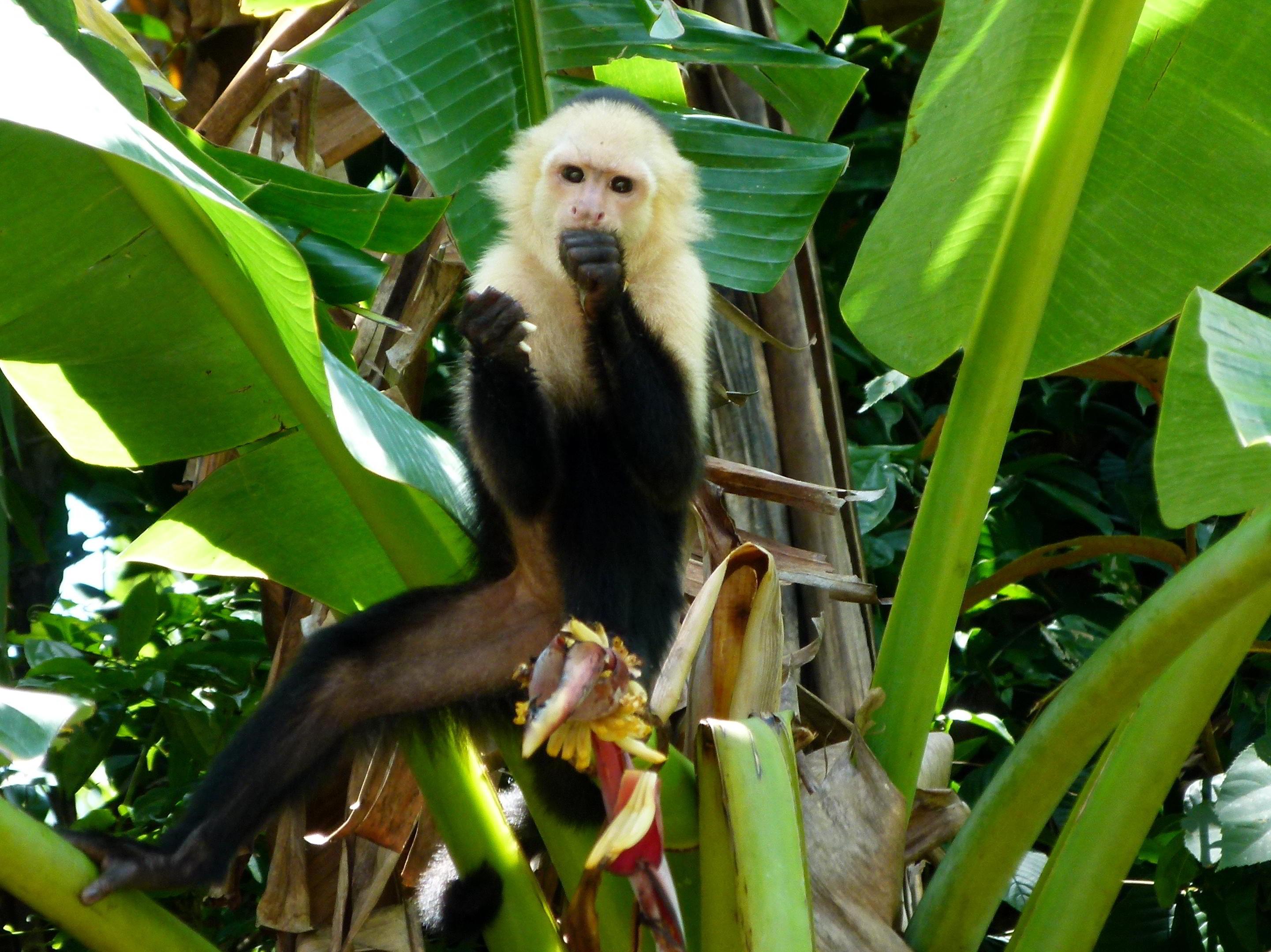 kokomana-kokopelli-logo-restaurant-sierpe-ballena-tales-osa-enjoy-tours-puravida-nature-iguana-nature-monkey