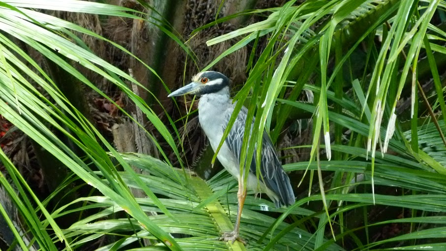 kokopelli-sierpe-kokopelli-sierpe-restaurant-tours-mangrove-corcovado-nature-sierpe-tour-08