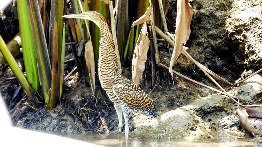 kokopelli-sierpe-kokopelli-sierpe-restaurant-tours-mangrove-corcovado-nature-sierpe-tour-13