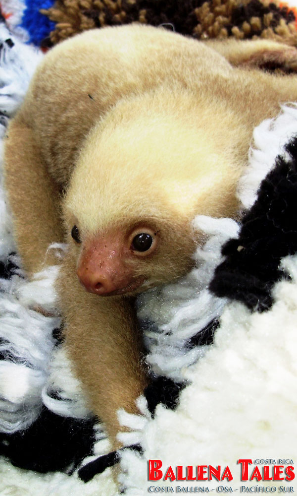 Sloth-baby-1