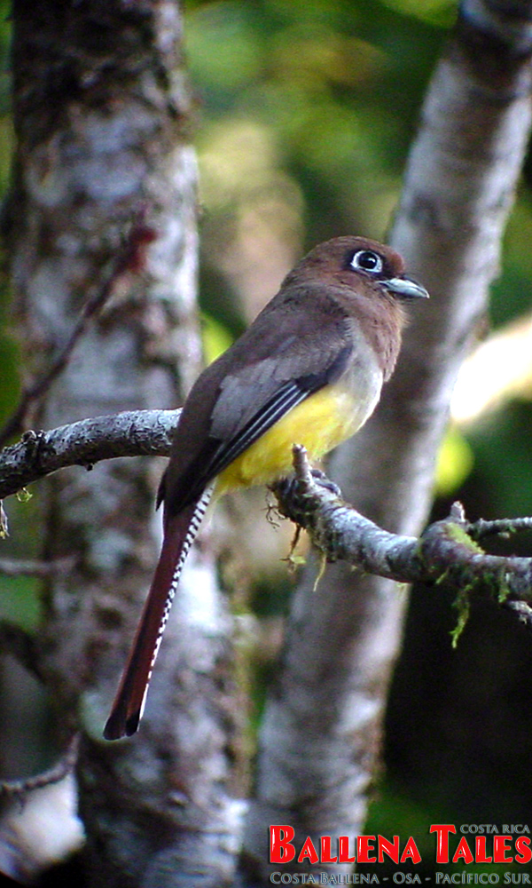 black-throated-trogon