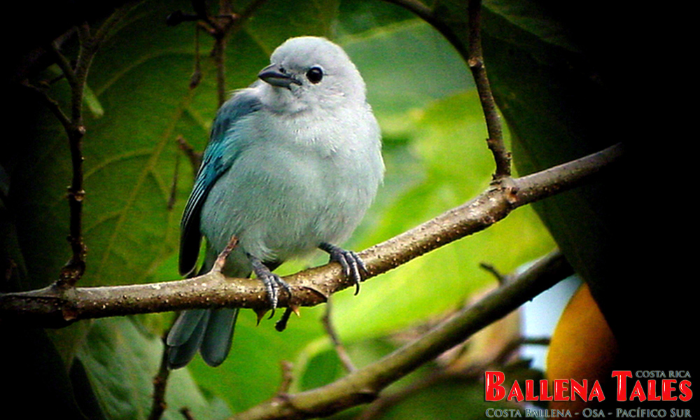 bluegraytanager