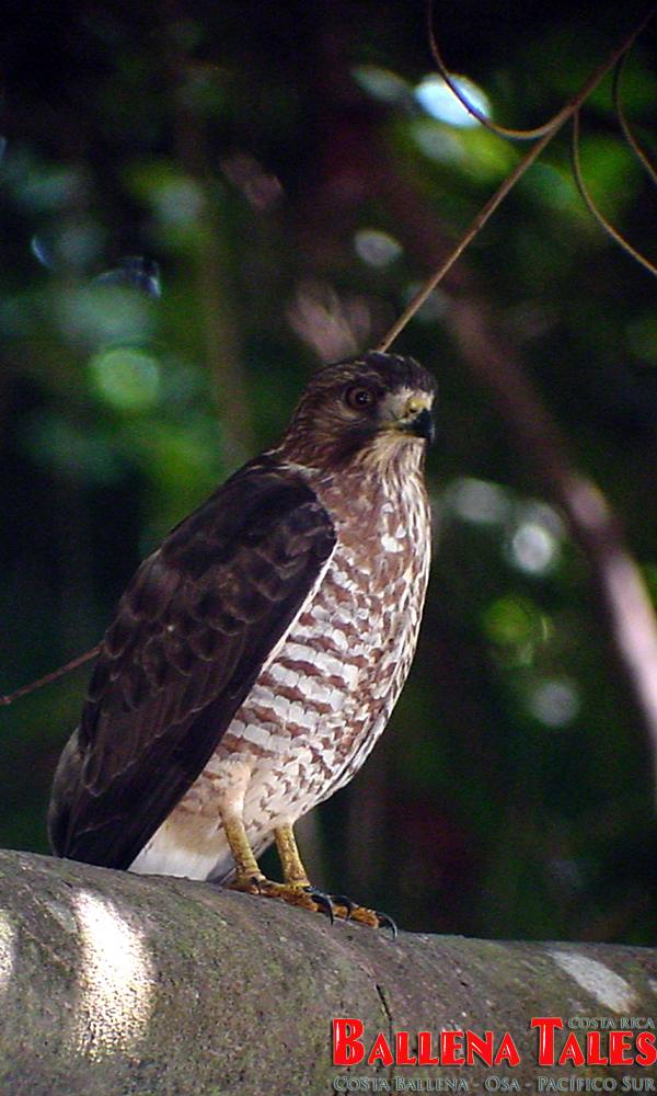 broadwinged-hawk