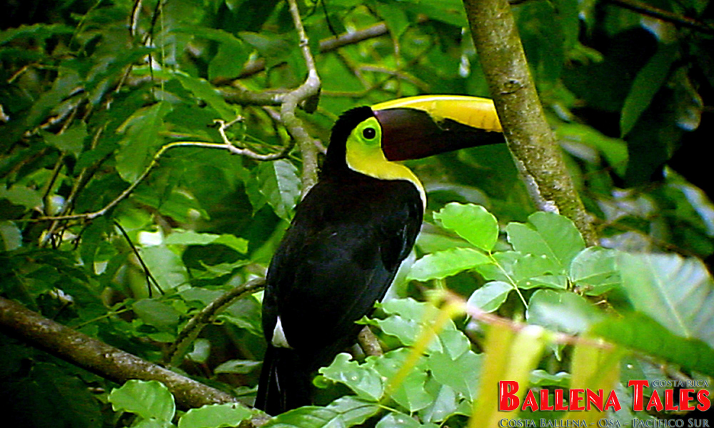 chestnutmandibled_toucan