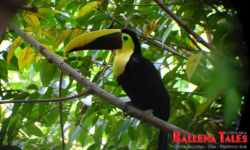 chestnutmandibled_toucan2