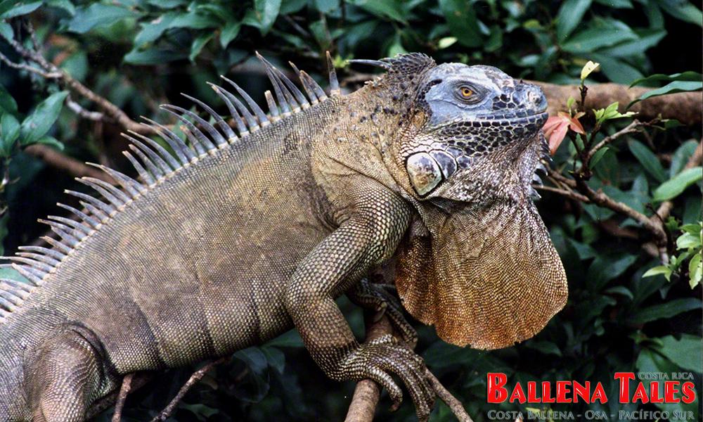 green-iguana2