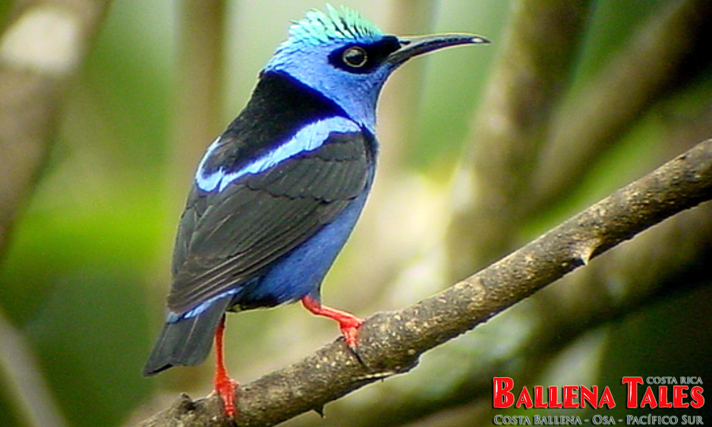 redlegged_honeycreeper