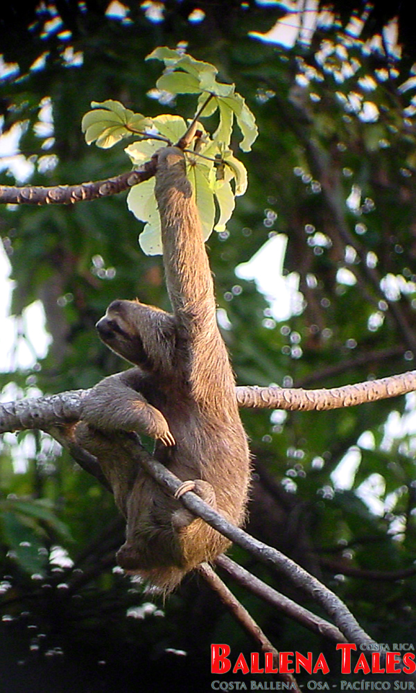 threetoed_sloth