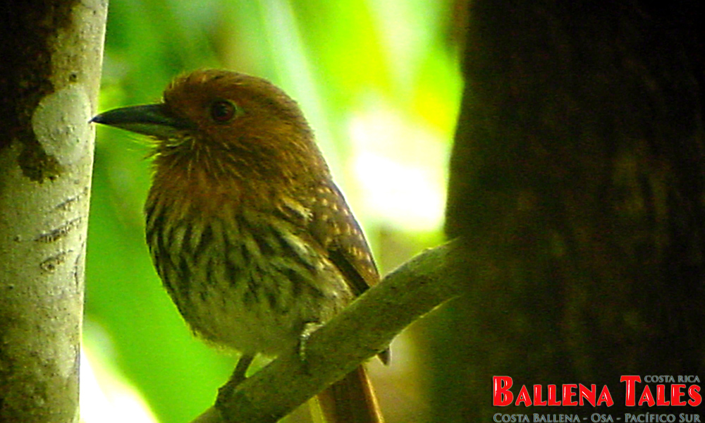 white_whiskered_puffbird