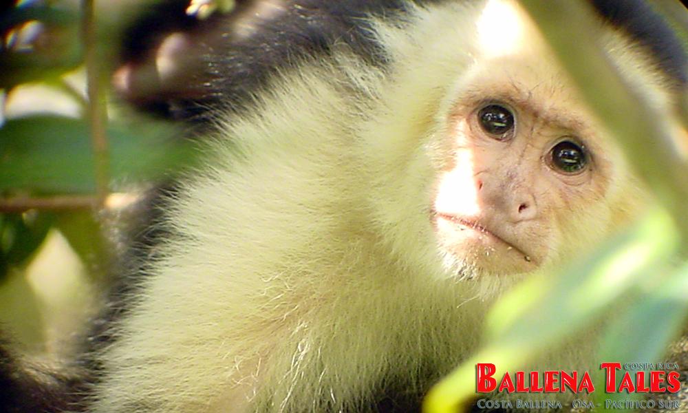 whitefaced_monkey