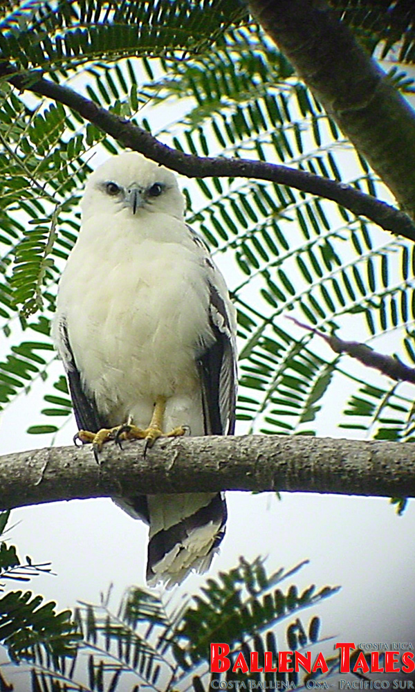 whitehawk2