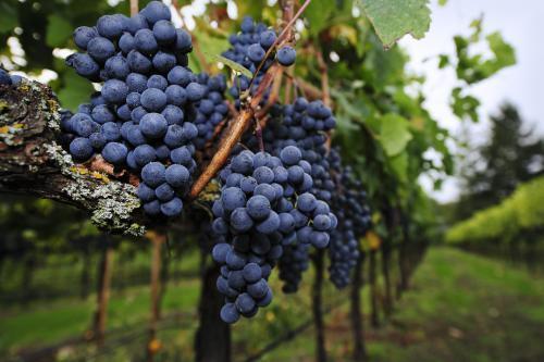 248897-500x333-merlot-grapes