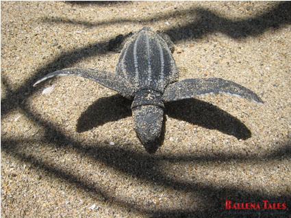 turtle-leatherback-baby