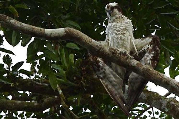kokopelli-sierpe-kokopelli-sierpe-restaurant-tours-mangrove-corcovado-nature-sierpe-tour-birdwatching