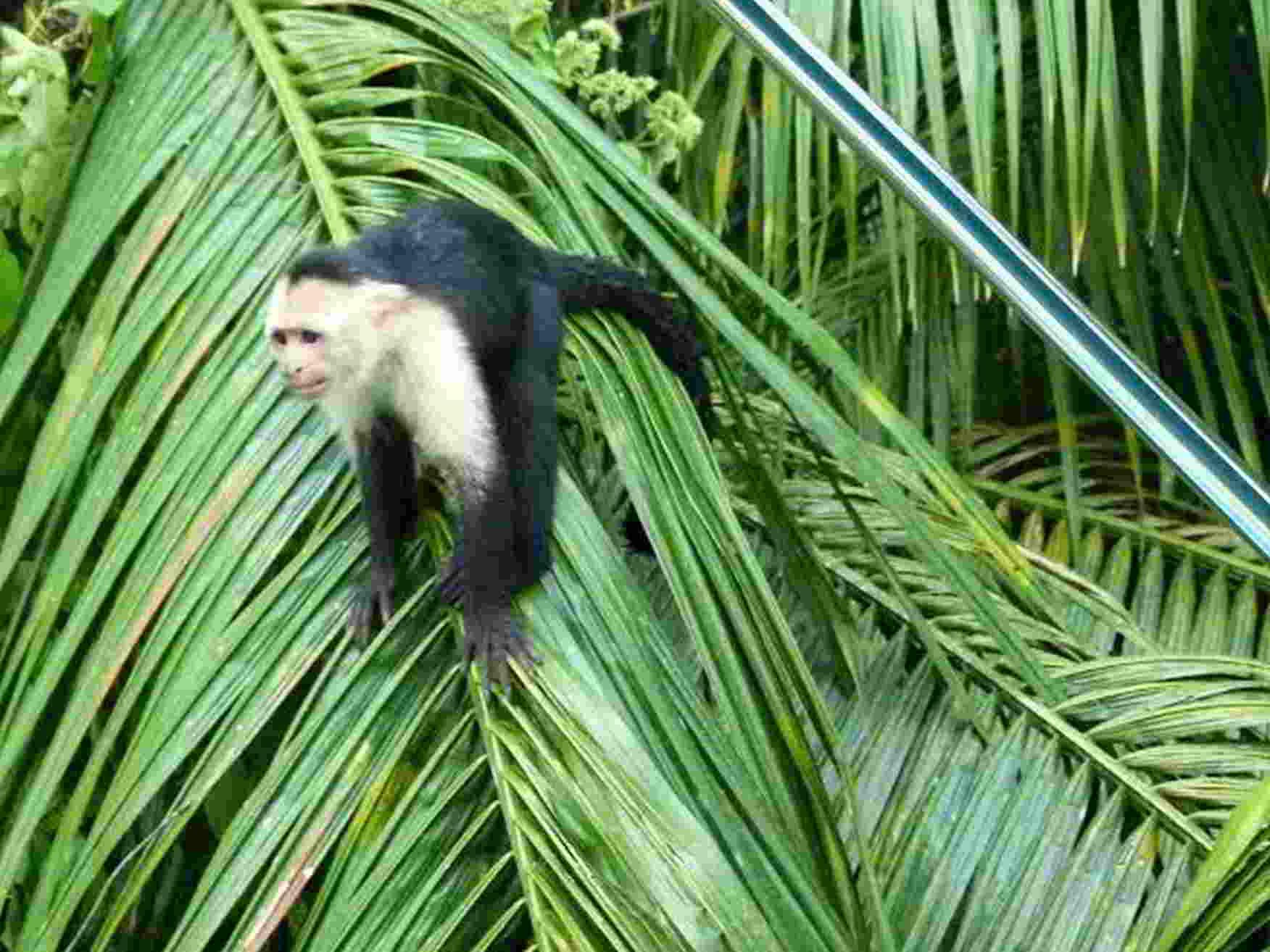 kokopelli-sierpe-kokopelli-sierpe-restaurant-tours-mangrove-corcovado-nature-sierpe-tour-monkey-3