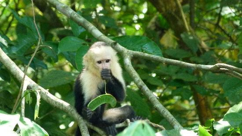 kokopelli-sierpe-kokopelli-sierpe-restaurant-tours-mangrove-corcovado-nature-sierpe-tour-monkey