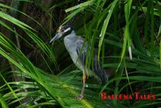 sierpe-ave-manglar