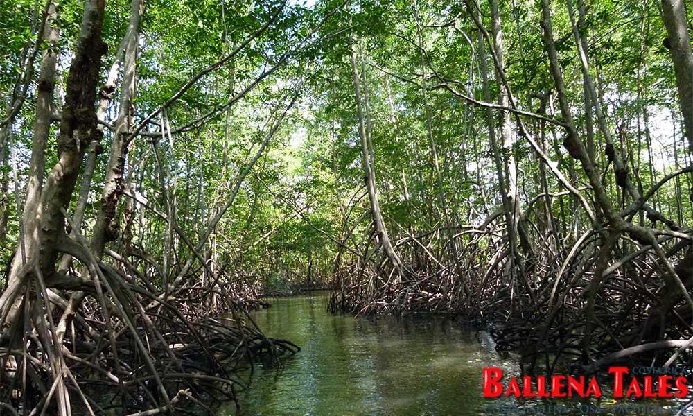 sierpe-mangroves-5