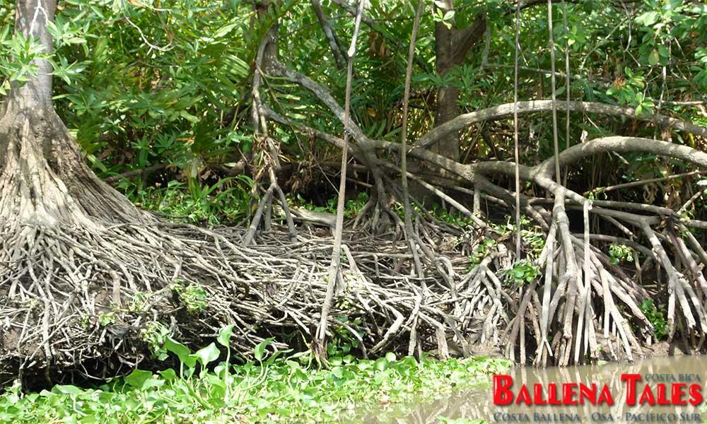 sierpe-mangroves