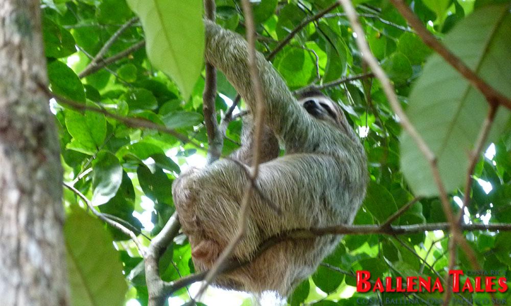 sierpe-mangroves2