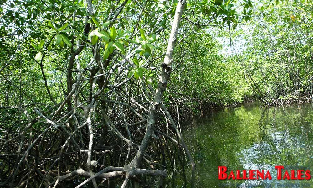 sierpe-mangroves3