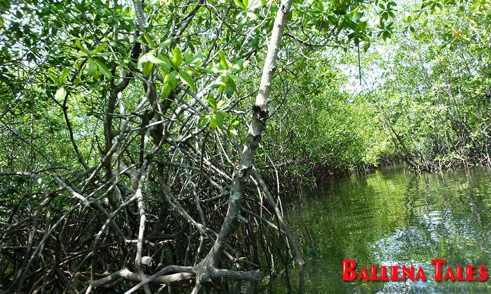 sierpe-mangroves4