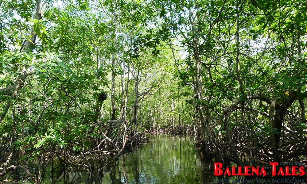 sierpe-mangroves7