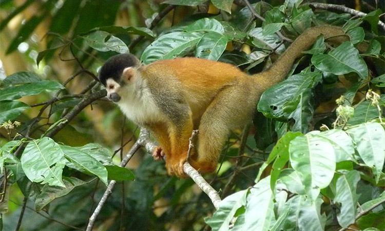 sierpe-monkey-1