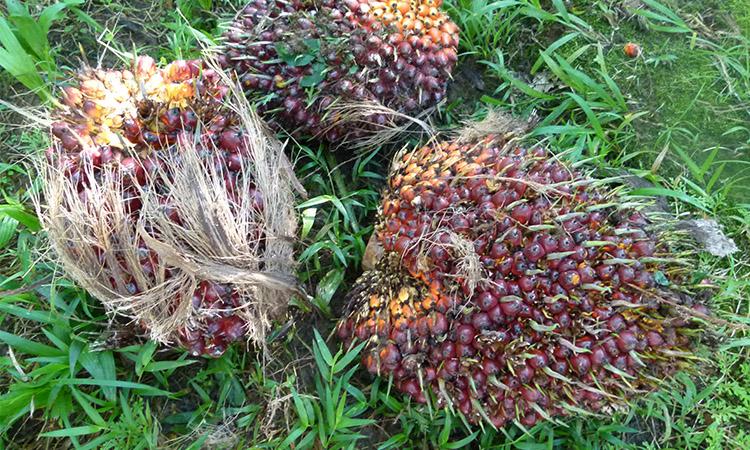 sierpe-palm-fruit1