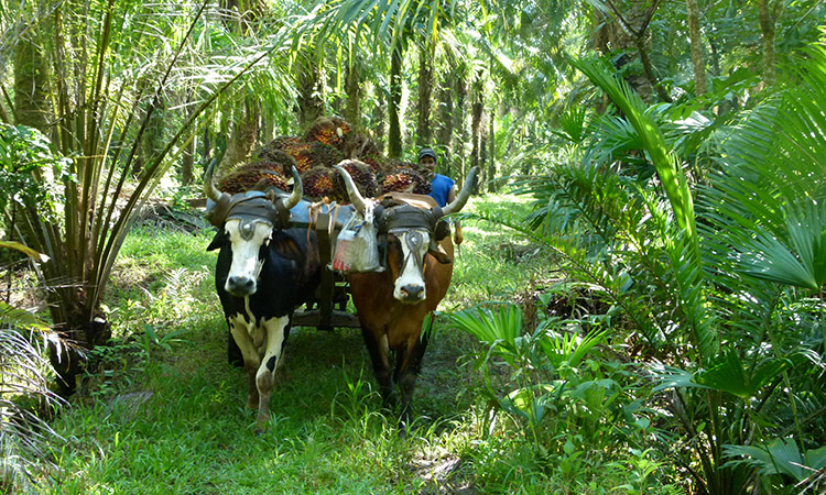 sierpe-palm-plantation1