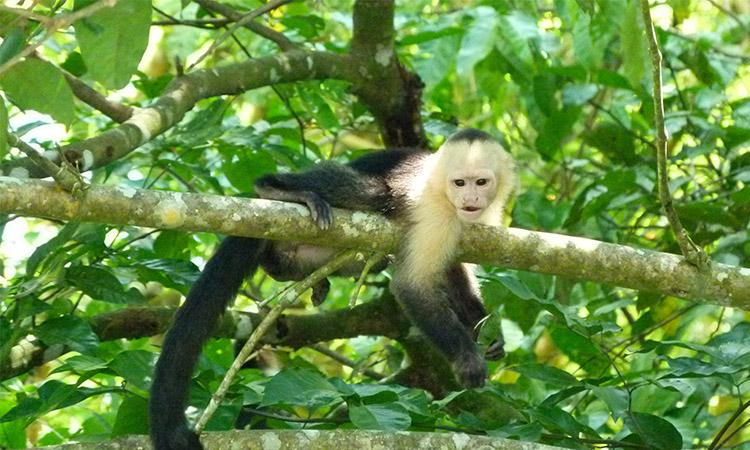 sierpe-white-head-monkey1
