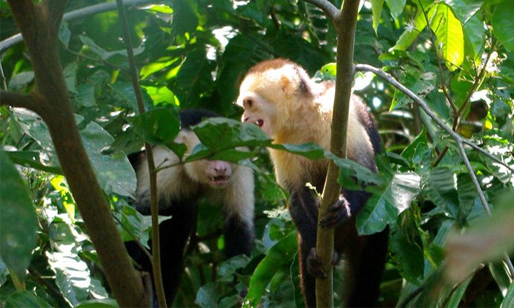 sierpe-whitefaced-monkey1