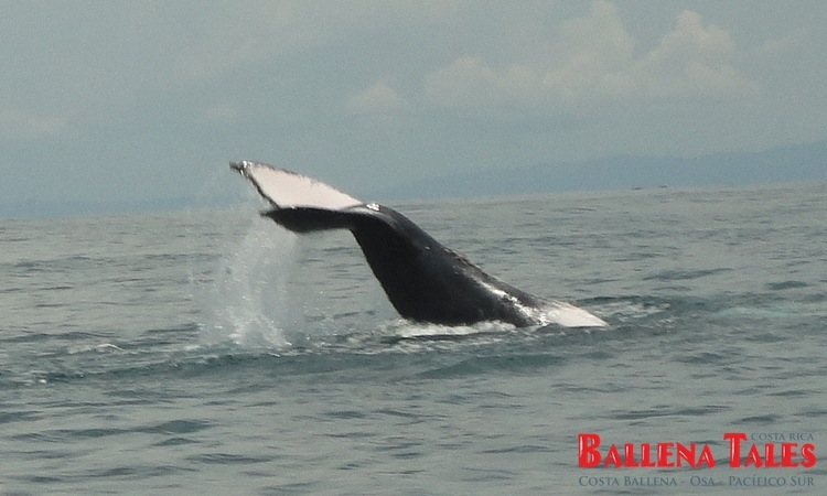 whale-watching-tour-costa-ballena-costa-rica-2