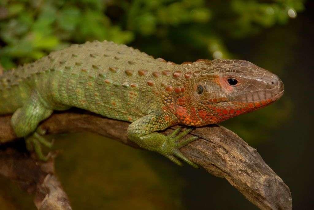 Not a Caiman But a Lizard! 1