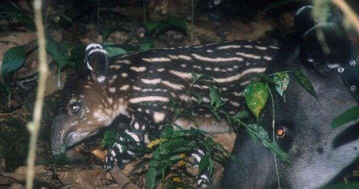 Hacienda Barú: El sueño de un hábitat para la danta o tapir 2