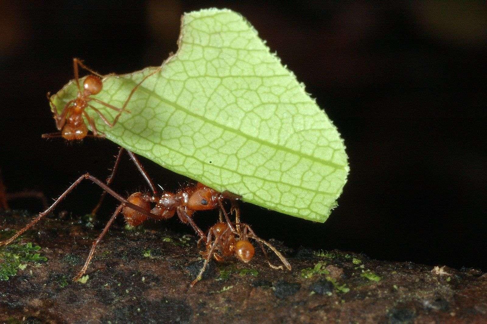 Ant Biodiversity Costa Rica Costa Ballena