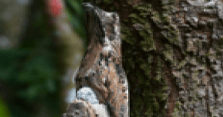 pájaro estaca, common potoo
