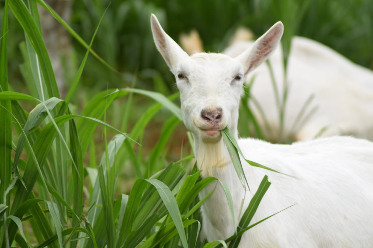 Un cuento de cabras – A Tale of Goats