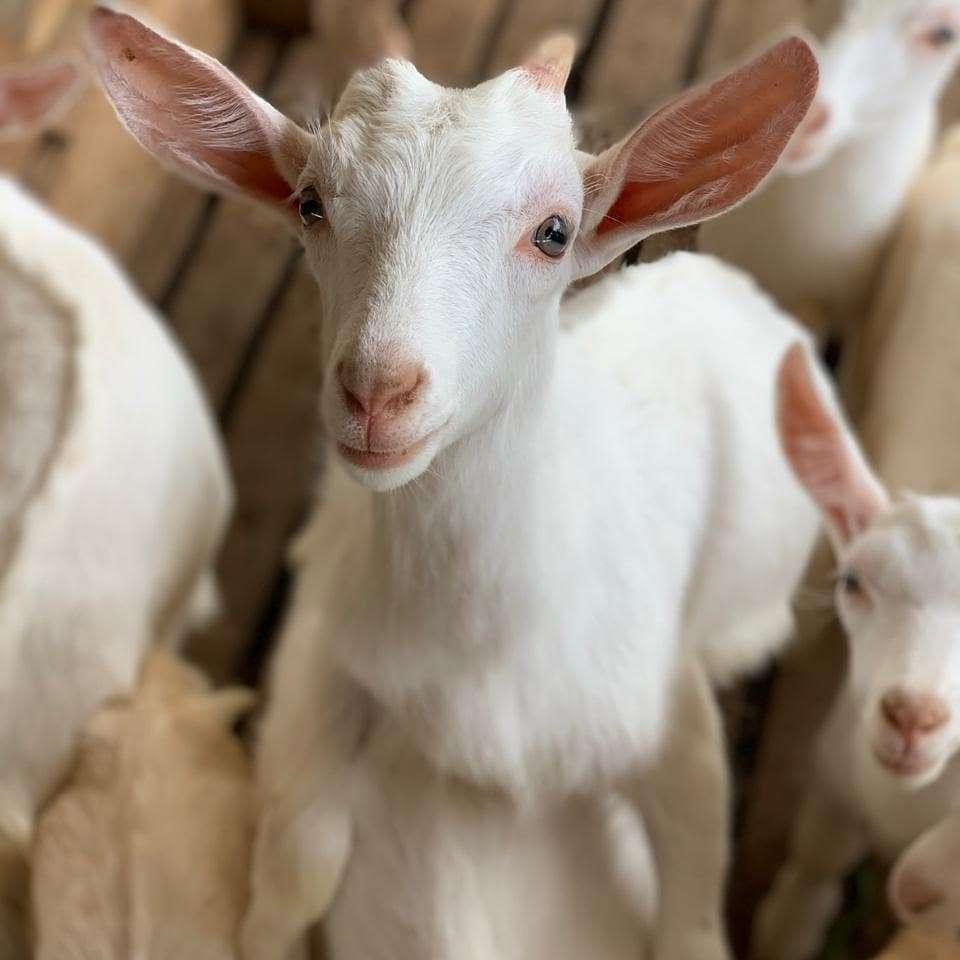Aprisco La Hortensia – un saludable cuento de cabras 3