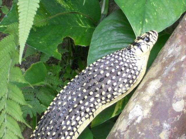 Serpiente Rata tigre: siseando, pero no fanfarroneando 7