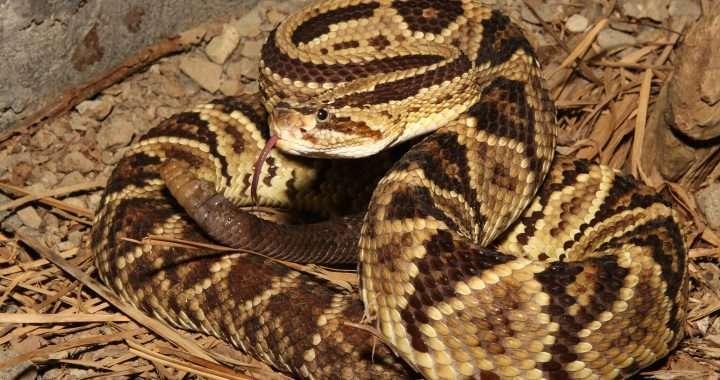 La Cascabel Neotropical - cascabeles del mundo de las serpientes 5