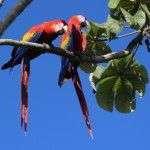 Ara-Macaws-sierpe-osa-hotels-mangrove-manglar-kokopelli-wildlife-1